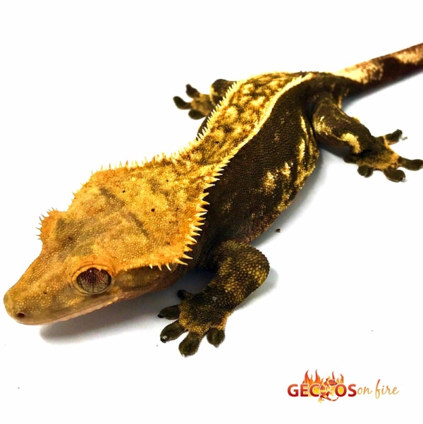halloween crested geckos for sale