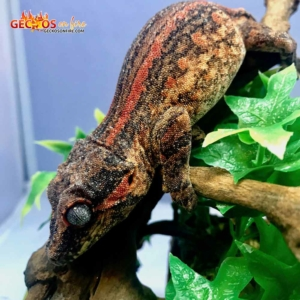 red stripe gargoyle gecko