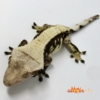 chocolate harlequin crested geckos for sale