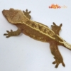 pinstriped crested gecko for sale