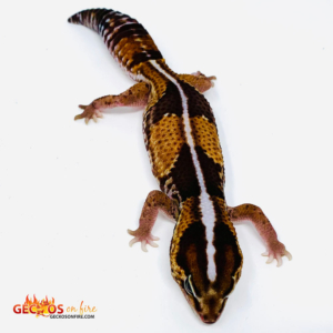 striped fat tail gecko