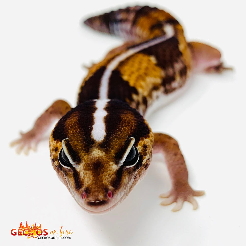 striped fat tailed gecko