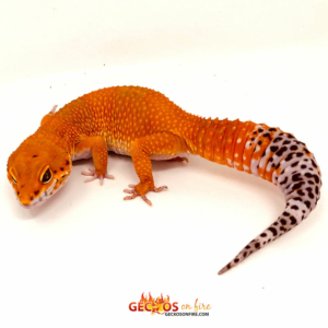 blood supergiant leopard gecko