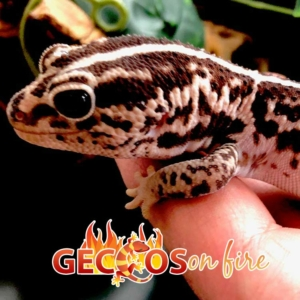African fat tail geckos