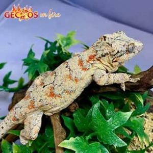 orange blotched gargoyle geckos for sale