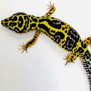 bold leopard gecko for sale