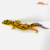 bold tangerine leopard gecko for sale