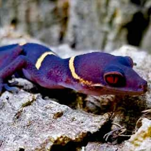 Chinese cave geckos for sale