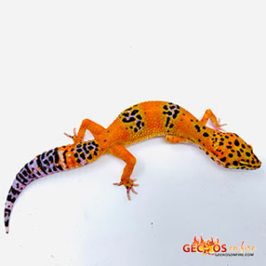 inferno leopard geckos for sale