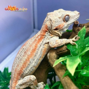 orange stripe gargoyle gecko