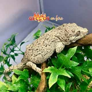 reticulated gargoyle gecko