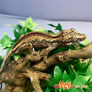 striped gargoyle geckos for sale
