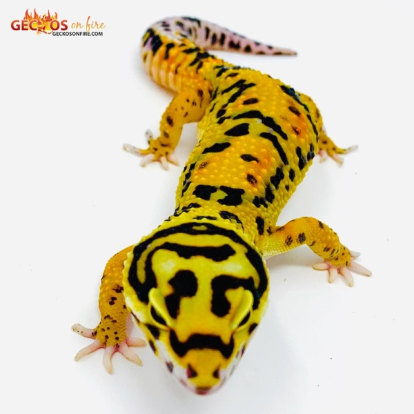 tangerine bold leopard gecko for sale