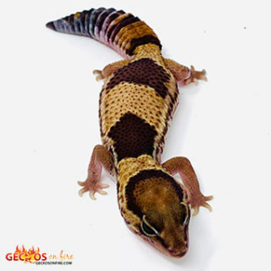 fat tail gecko color morphs