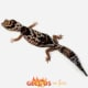 whiteout fat tail geckos for sale