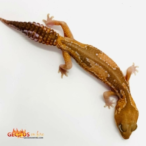 Zulu fat tailed gecko for sale